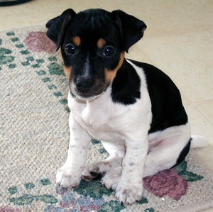 jack_russel_terrier_3_by_photoboater.jpg